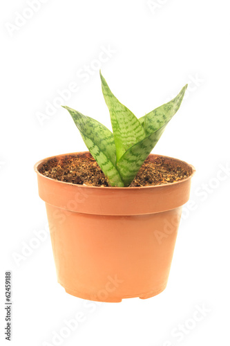 Young sansevieria in pot
