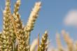 Junger Weizen unter blauem Himmel