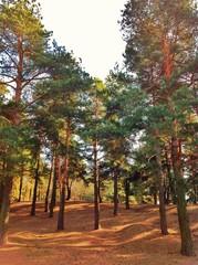 Сосновый лес в солнечную погоду