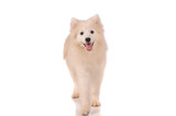 Samoyed dog isolated on white background