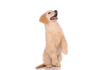 purebred golden retriever dog isolated over white background