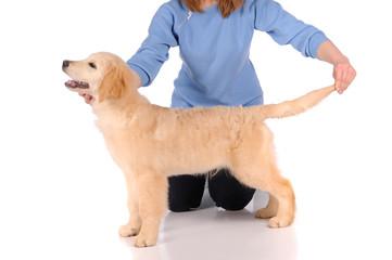 purebred golden retriever dog isolated over white background