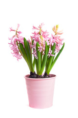 The pot with blooming Hyacinthus