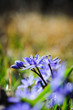 spring flower squill or scilla