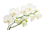 Long branches of bouquet delicate white orchid flowers