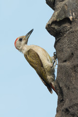 Grey Woodpecker beside his nest