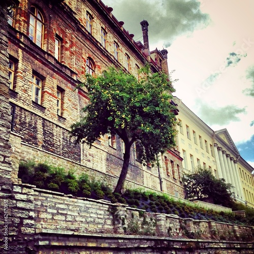 tree growing from wall in Tallinn old town, Estonia