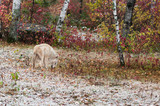 Blonde Wolf (Canis lupus) Blends into Environment
