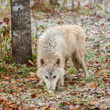 Blonde Wolf (Canis lupus) Sniffs in Snow Covered Leaves poster