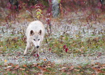 Blonde Wolf (Canis lupus) Bounds Through Early Snowfall