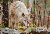 Blonde Wolf (Canis lupus) Climbs Over Rock