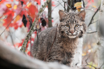 Bobcat Kitten (Lynx rufus) Peers Over Obstacle