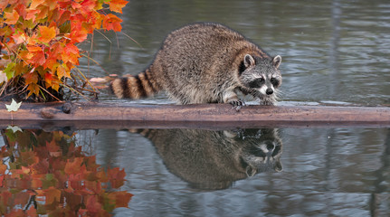 Raccoon (Procyon lotor) Splashes Water