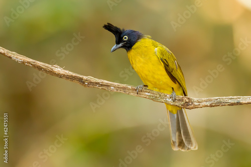 Black-crested Bulbul bird on the branch stair at us