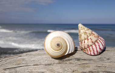 Sea shell on rotten driftwood at blue sky the beach