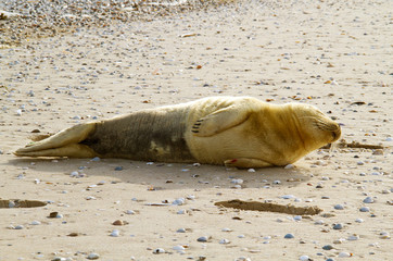 Young Harbor seal sleeping on sandbank