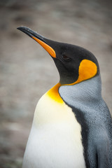 Closeup shot of King penguin in South Georgia, Antarctica