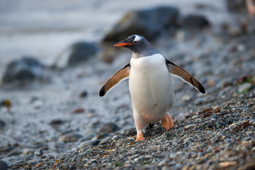 Gentoo penguin in South Georgia, Antarctica.