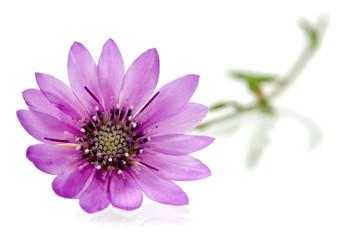 immortelle flowers