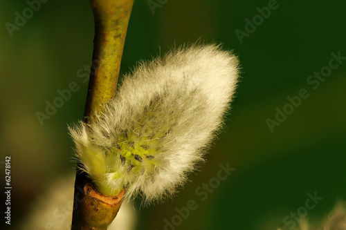 pussy-willow in green