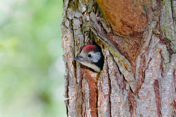 Middle spotted woodpecker juvenile looking out of its nest hole
