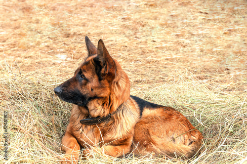 german shepherd dog laying on the hay