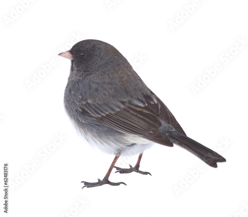 Isolated Junco