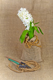 Hyacinth and garden tools on a canvas background. Still rustic.