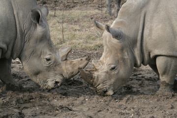 Two White Rhinos pushing each other from their horns