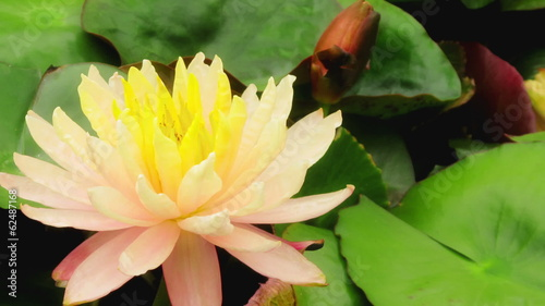 Time lapse opening of water lily flower