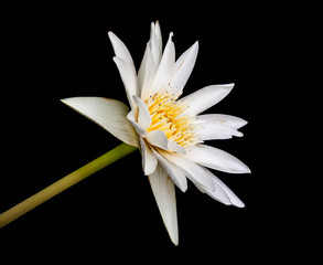 White lotus with yellow pollen isolated on a black background