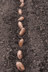 Bean seeds in the ground.