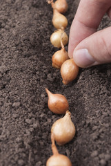 Sowing onion into the ground.