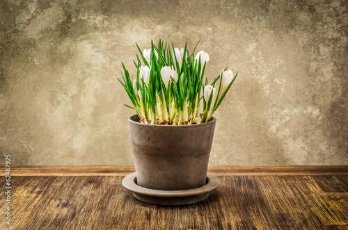 Fotobehang Krokus Detail of nice crocus flower in pot, vintage style
