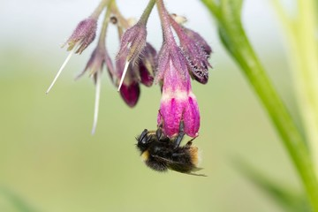 Hummel an Echtem Beinwell / bumblebee on comfrey