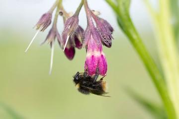 Hummel an Echtem Beinwell / bumblebee on comfrey
