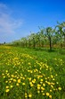 Orchard, blooming apple trees and a meadow with dandelions