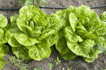 organic lettuce vegetable farm growing in Antigua island Caribbe