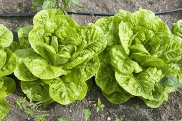 organic lettuce vegetable farm growing in Antigua island Caribbe