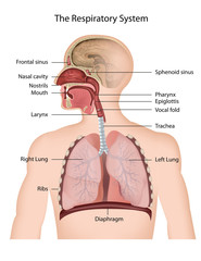 The Respiratory system, english description