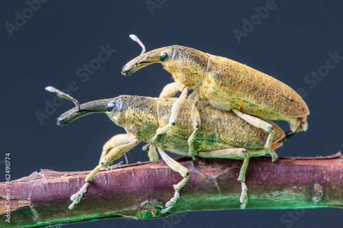 Two weevils (Lixus angustatus) mating at a branch, Spain