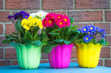 Drei bunte Primeln im Blumentopf