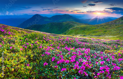 Fototapety, obrazy : Magic pink rhododendron flowers in the mountains.