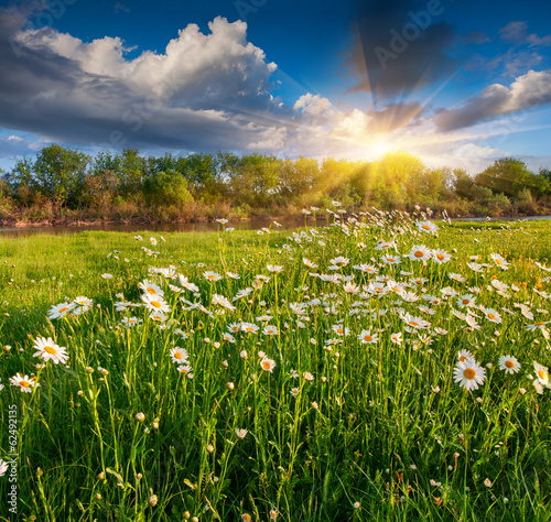 Blooming daisies in a meadow by the river