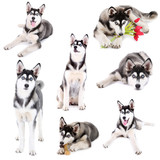 Collage of cute husky puppy isolated on white - 62494133