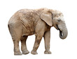 African elephant isolated on white