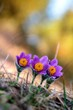 Violet Pasqueflower
