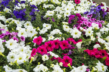Mixed petunia flowers