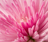 Close up pink chrysanthemum flower