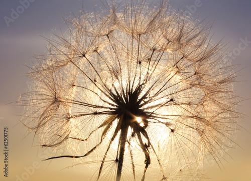 Dandelion close-up - 62501775